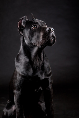 Cane corso, black dog on the black background