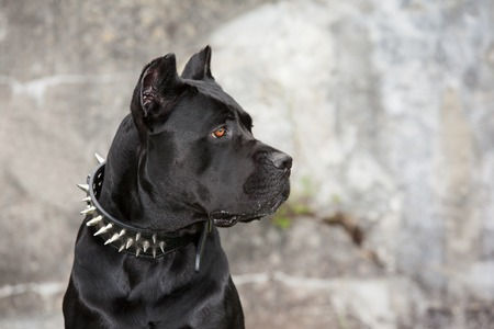 cane collars: Black dog on the background of a concrete wall. Breed Cane Corso.