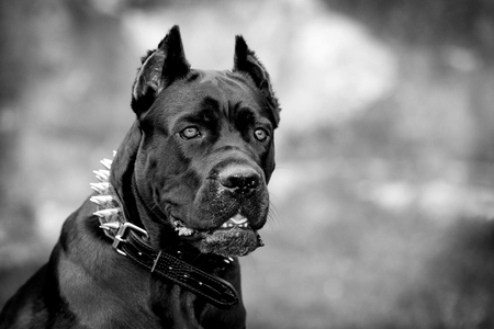 cane collar: Black dog on the background of a concrete wall. Breed Cane Corso. Black and white image.