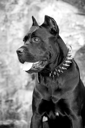 cane collars: Black dog on the background of a concrete wall. Breed Cane Corso. Black and white image.