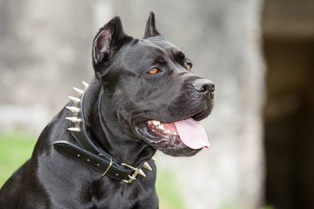 Black dog on the background of a concrete wall. Breed Cane Corso.