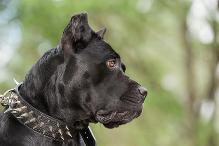 cane collar: Black dog on the background of a green trees and grass. Breed Cane Corso.