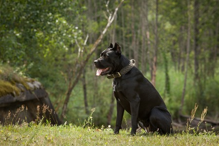 cane collars: Black dog on the background of a green trees and grass. Breed Cane Corso.
