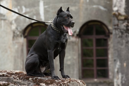cane collar: Black dog on a leash sitting on a rock on a background of the old buildings and arched windows. Breed Cane Corso.