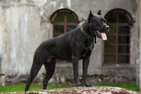 The black dog is standing on a rock on a background of the old buildings and arched windows. Breed Cane Corso.