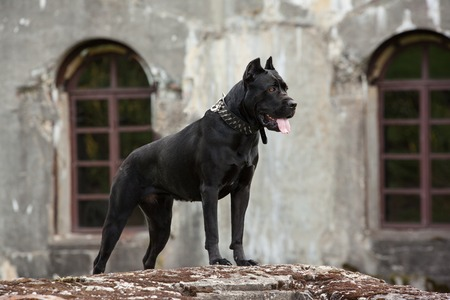 cane collar: The black dog is standing on a rock on a background of the old buildings and arched windows. Breed Cane Corso.