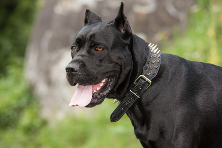 Close-up portraits of a black dog with his tongue hanging out against the backdrop of the stone. Turning the head. Breed Cane Corso.