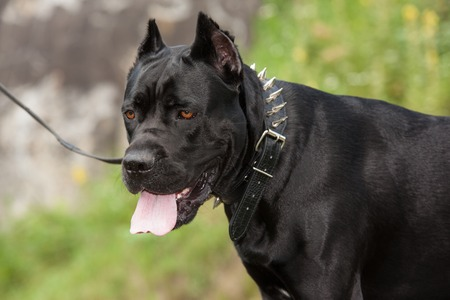 Close-up portraits of a black dog on a leash with his tongue hanging out against the backdrop of the stone. Turning the head. Breed Cane Corso.