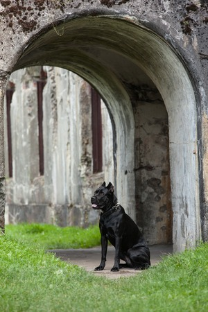 cane collar: Big black dog standing on the background of the stone arch gate. Breed Cane Corso.
