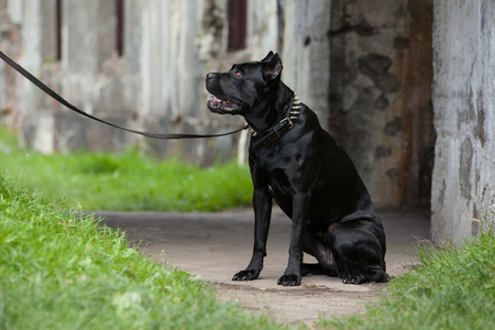 Big black dog sitting on a leash and looks. Breed Cane Corso. Stock Photo