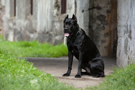 cane collar: Black dog on the background of a concrete wall. Breed Cane Corso.