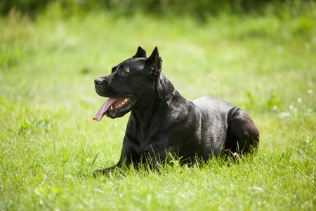 Big black dog lying on the grass in profile on green background. Breed Cane Corso.