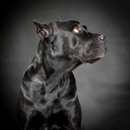 Black dog Cane corso Standard-Bild