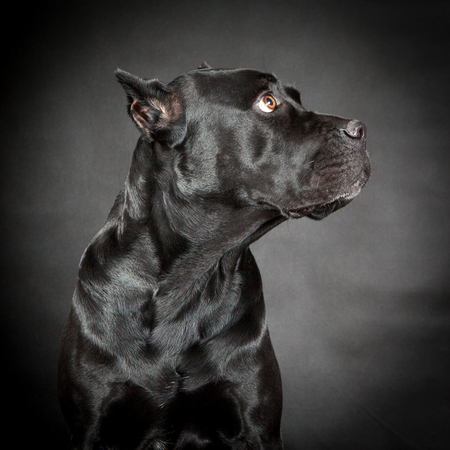 Black dog Cane corso Stockfoto