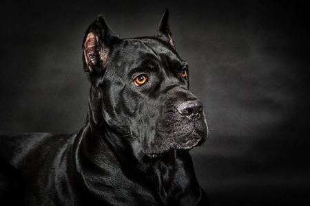 Black dog Cane corso Stock Photo