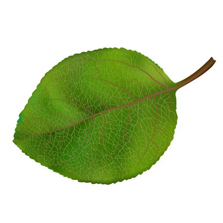wood leaf  Vector illustration isolated on white background. Ilustracja