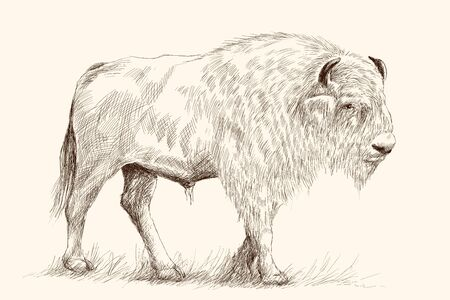 A large old bison stands on its feet in the grass. Pencil hand drawing sketch on a beige background. Illustration