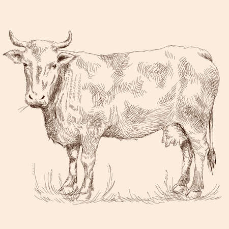 A cow stand on the grass in a pasture. Pencil sketch drawing isolated on a beige background.