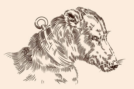 The muzzle of a dog with a collar. Vector image of a medieval engraving on a beige background.