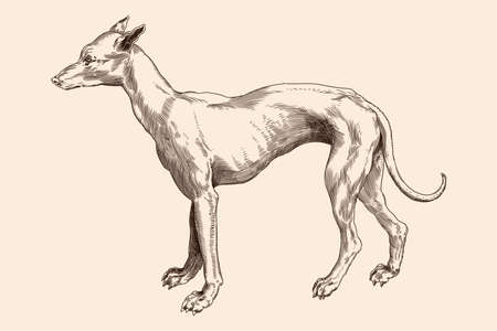 Hound breed dog. Vector image of a medieval engraving on a beige background. Ilustração
