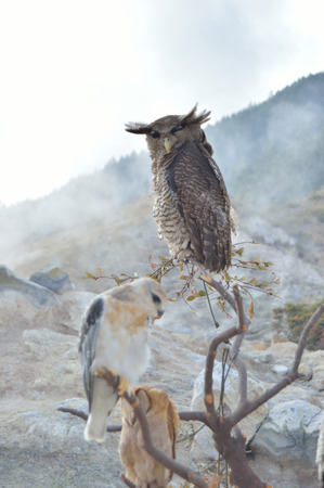 rare animal: Owls at sikidang crater in indonesia Stock Photo