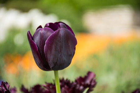 dark purple: Beautiful Burgundy tulip, Tulip dark purple flower spring Stock Photo