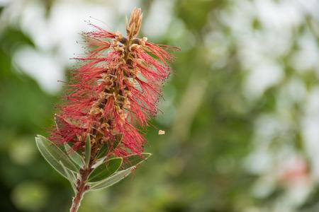 callistemon citrinus: Callistemon Citrinus Red Pink Green Beautiful plant Stock Photo