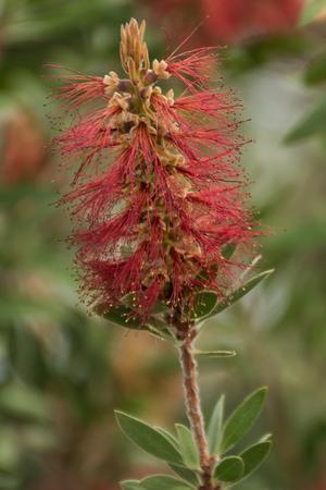 Callistemon Citrinus Red Pink Green Beautiful plant Stock Photo