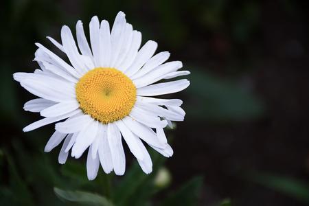 moonflower: White Leucanthemum graminifolium spring garden wild flower