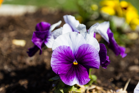 A Pansies In The Foreground Stock Photo