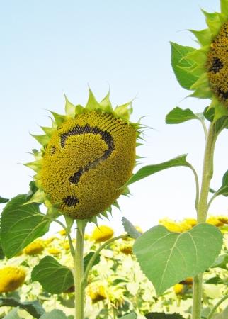 question mark sunflower