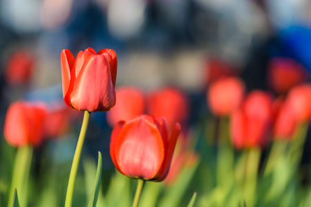 Red tulip flowers against blurred background Stock Photo