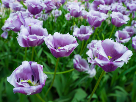 The field of purple tulips. Selective focus on some flowers on foreground.