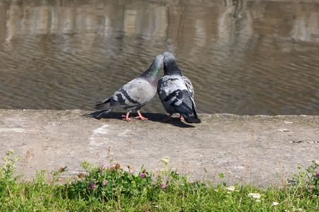 Couple of pigeons on the nature Stock Photo - 6540028