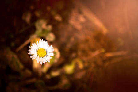 isolated daisy flower with copy space for text