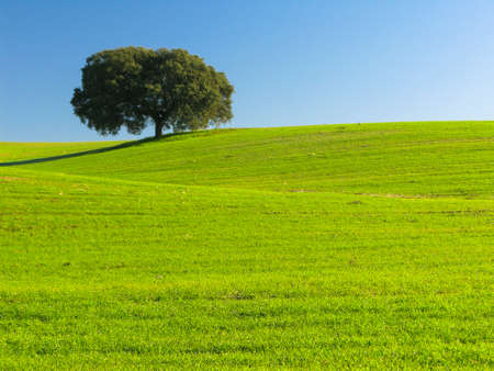 Holm oak isolated on green field with blue sky in the Dehesa de Extremadura
