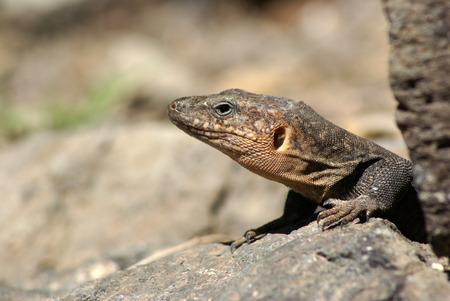 canarian: Canarian lizard