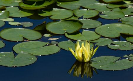 Yellow flower floating on top of a lake surrounded by leaves