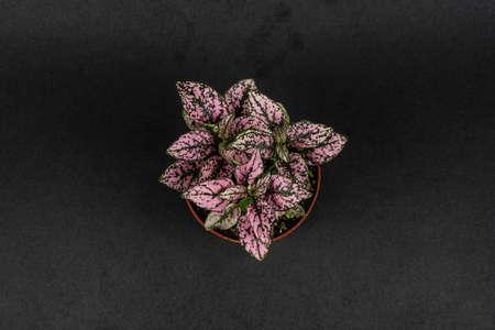 hypoestes phyllostachya pink splash on black background, overhead view