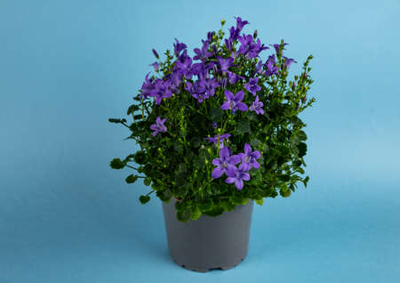 Campanula in gray pot with blue background, top view