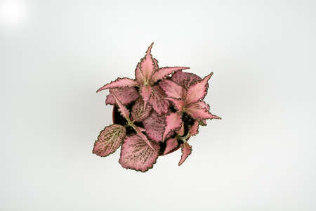 fittonia in flower pot on white background, overhead view