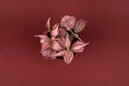 fittonia in flower pot on red background, overhead view Stock Photo