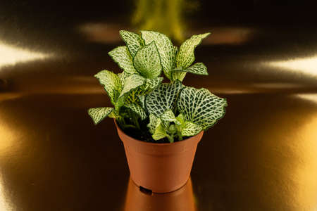 Fittonia albivenis in flowerpot on golden background, top view
