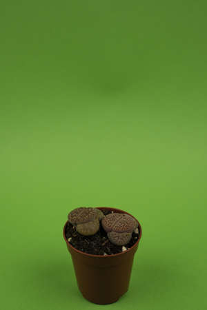 lithops aucampiae in pot with green background, top view