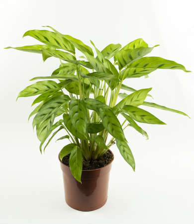 Calathea bachemiana in flowerpot with white background, top view
