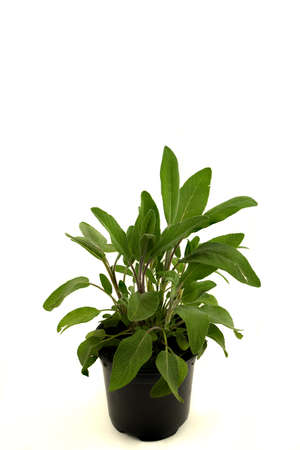 salvia officinalis in pot with white background, top view Stockfoto