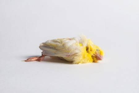 yellow dead bird