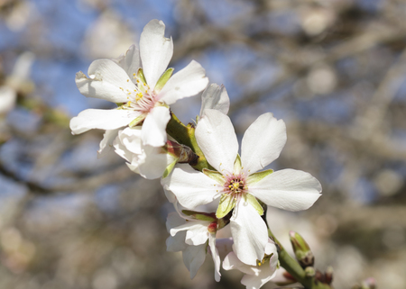 These flowers have 5 white petals or light pink in perfect symmetry, linked by a starred center of darker or green hue. They also emphasize their yellowish pistils crowning the center of the flower and attracting birds and butterflies.