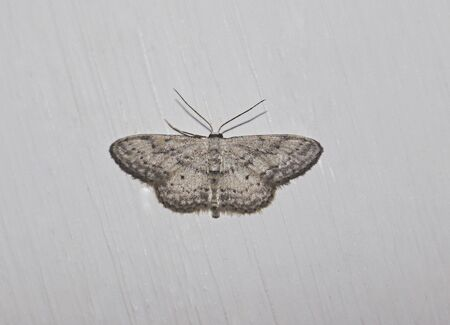 Butterfly or moth better known. From the family of flying insects. You can find, in houses and apartments. And as legend has it, they bring good luck.