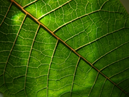 Close-up of the veins of a green leaf